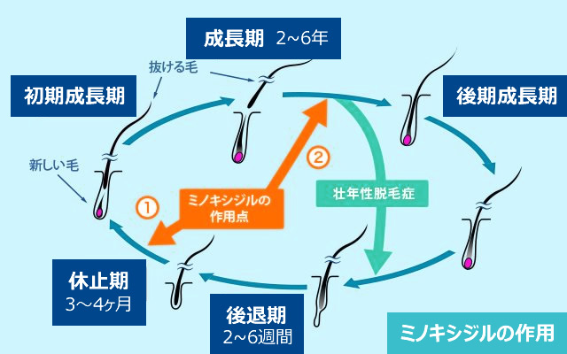 ミノキシジルの作用